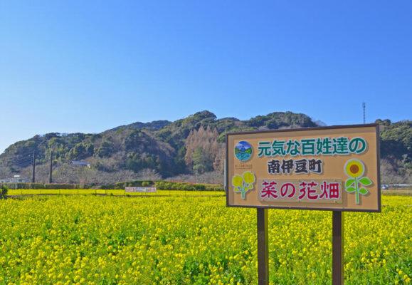 日野菜の花畑